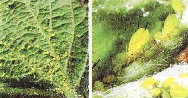 поражение листвы насекомыми