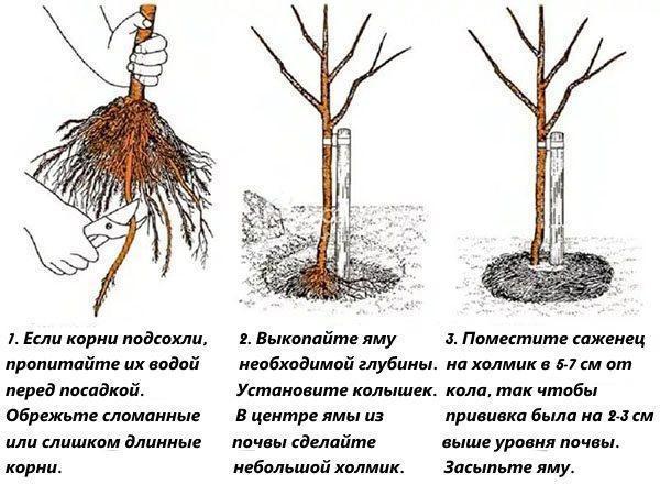 этапы посадки груши