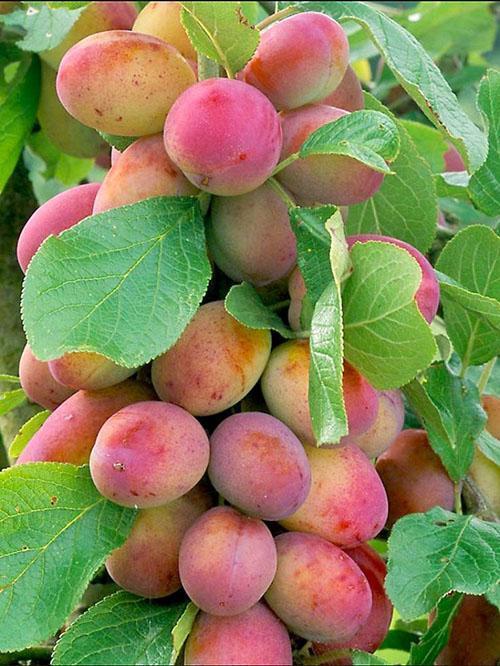 расположение плодов на сливе колоновидной