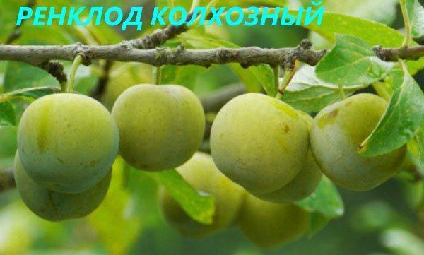 Ренклод Колхозный