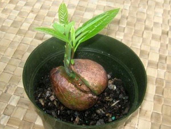 росток инжира Сочинский-7