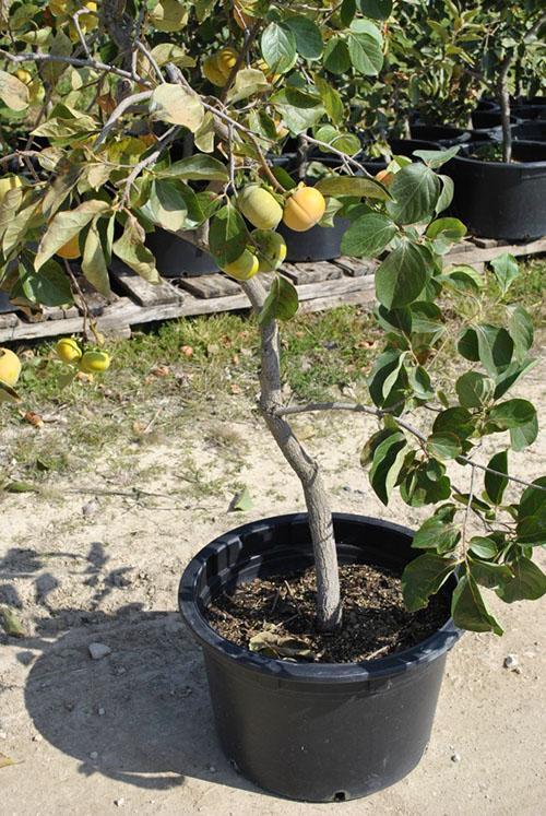 самостоятельно выращенное дерево хурмы