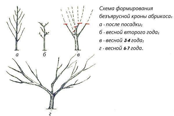 схема формирования кроны