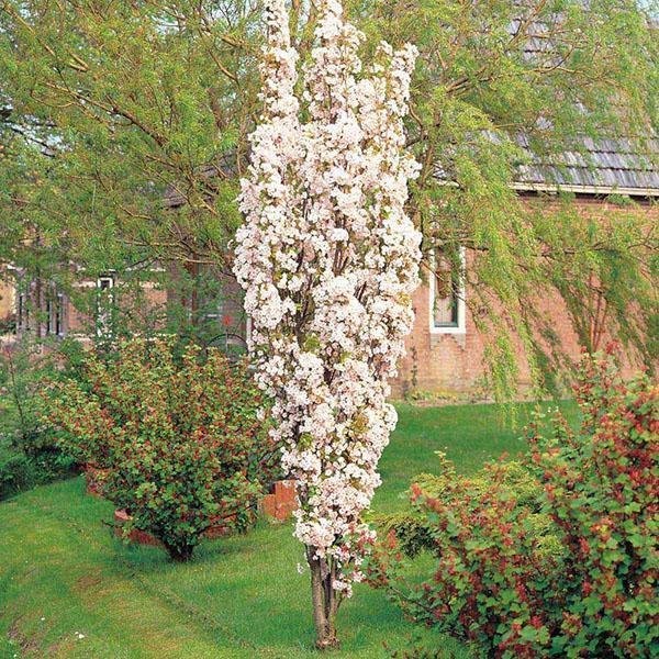 цветет колоновидная слива