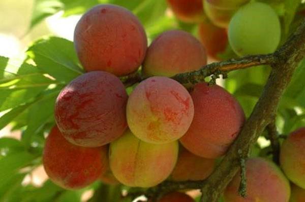 слива сорта Персиковая