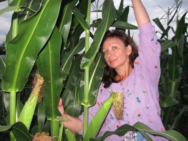 Выращивание кукурузы на приусадебном участке 31