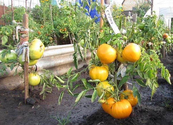 томаты сорта Хурма