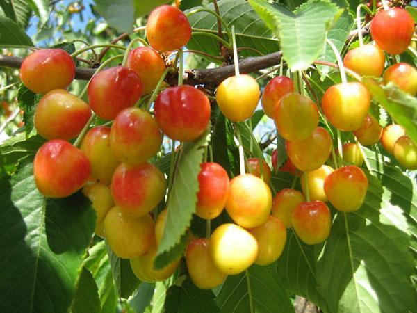 Выращивание черешни в омске 10