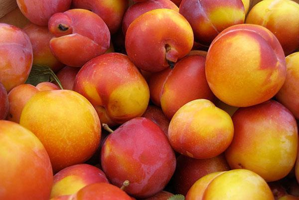 урожай сливы Персиковой