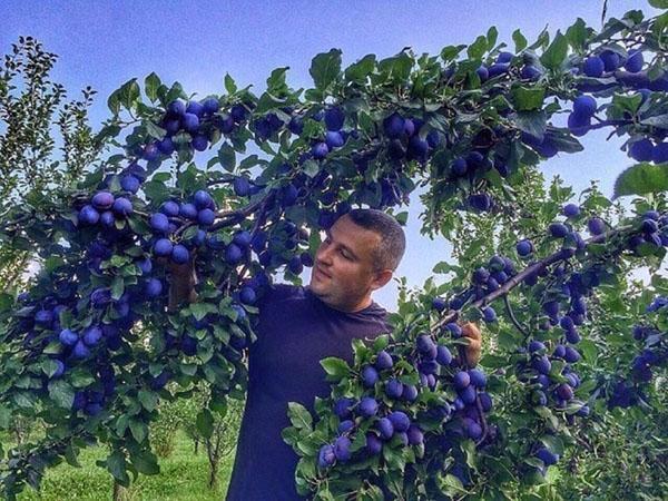 урожай сливы в саду на даче