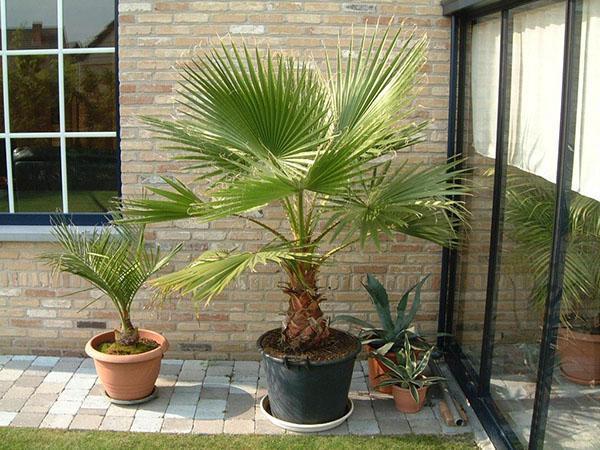 пальмы дома