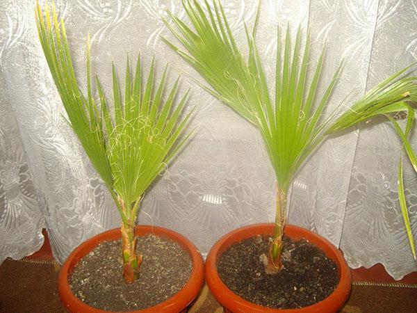 Пальма из семени в домашних условиях