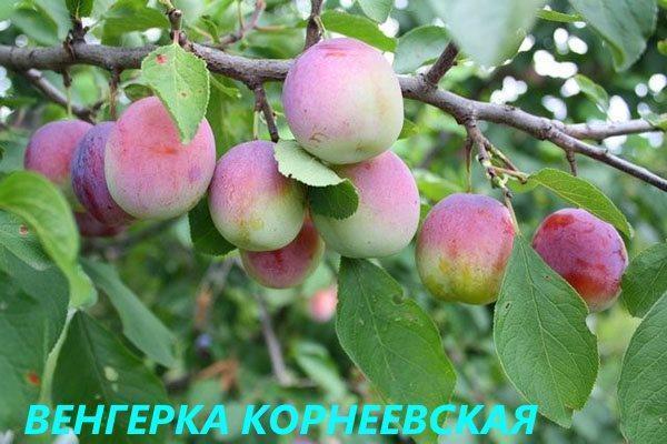 Венгерка Корнеевская