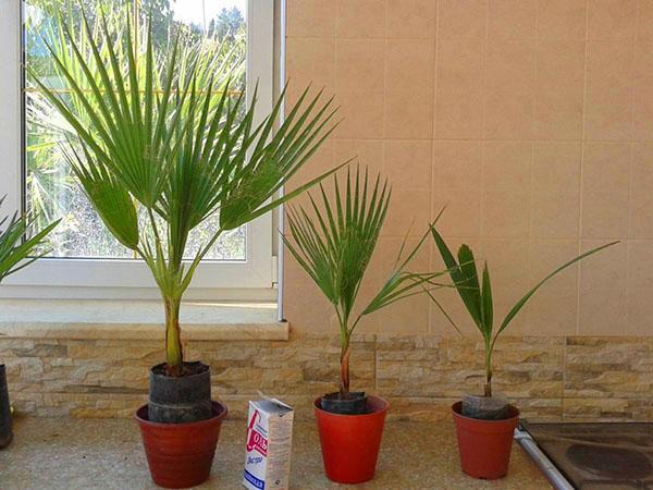 выбор места для пальмы