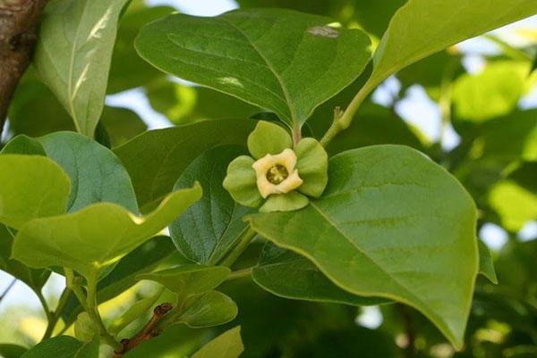женский цветок хурмы