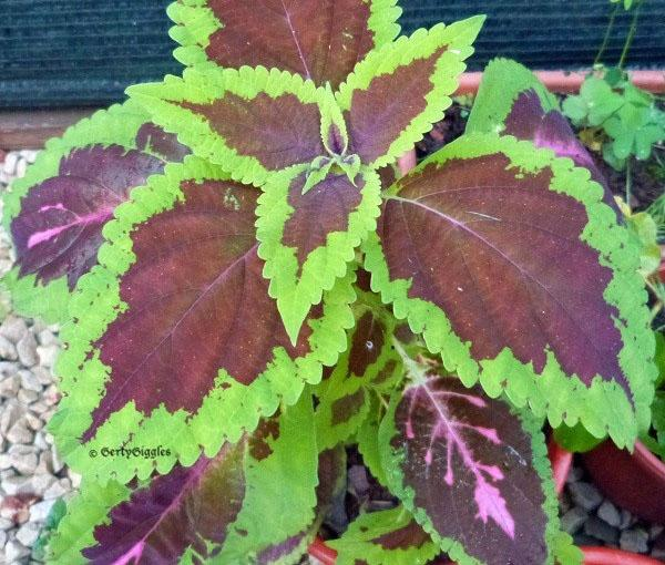 Plectranthus coleoides «Display»