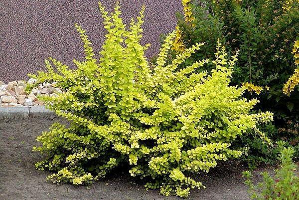 барбарис со светлой листвой