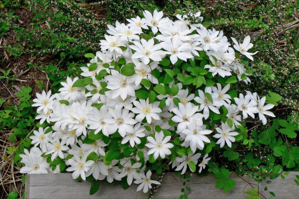 белые цветы клематиса