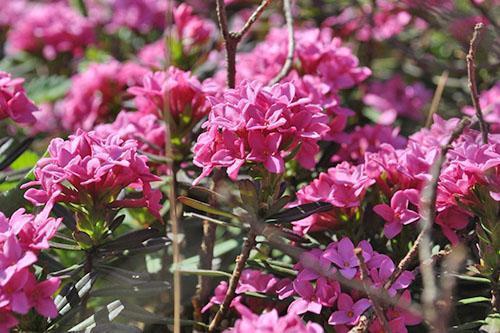 цветет декоративный кустарник