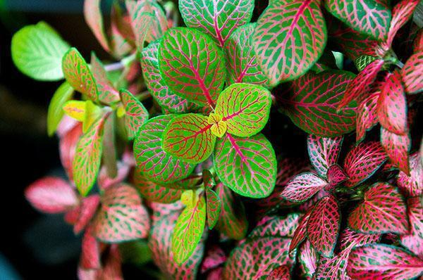 Декоративная листва домашней фиттонии