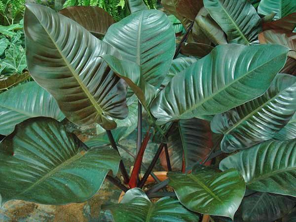 Филодендрон краснеющий сорта Red Congo