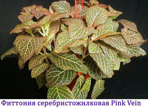 Фиттония серебристожилковая Pink Vein
