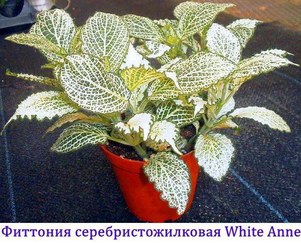 Фиттония серебристожилковая White Anne