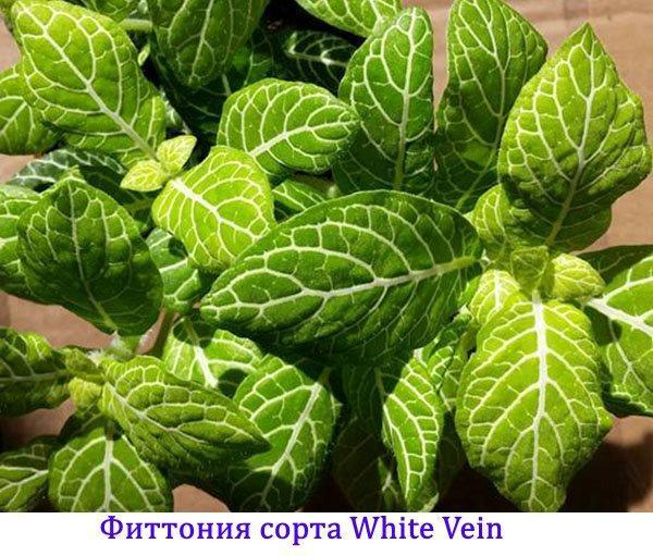 Фиттония сорта White Vein