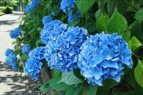 аспера голубая