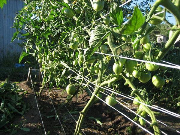 подвязанные кусты помидор