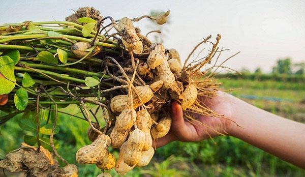 урожай арахиса в Америке