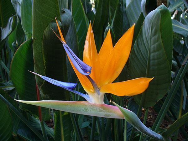 красивая райская птица