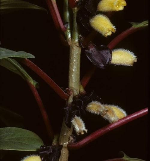 нематантус коротковолосистый