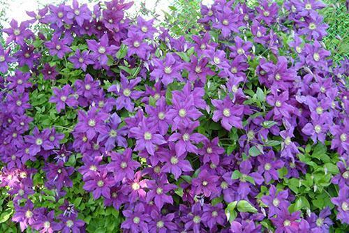 обильное и длительное цветение
