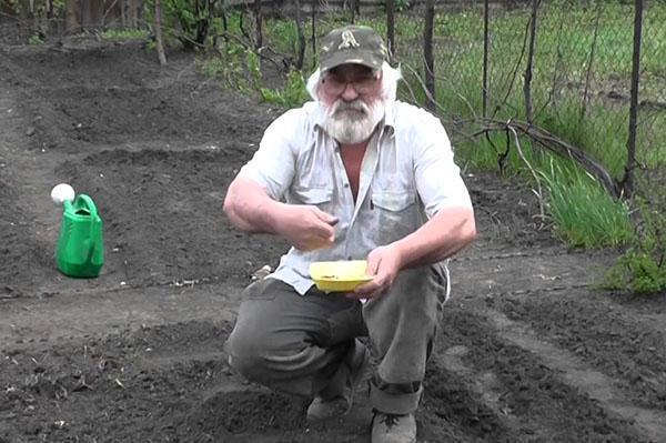 посадка кукурузы на даче