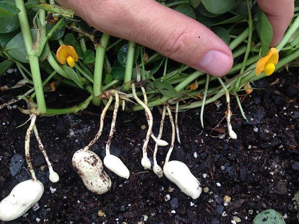 процесс развития плодов арахиса