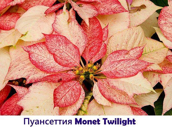 Пуансеттия Monet Twilight