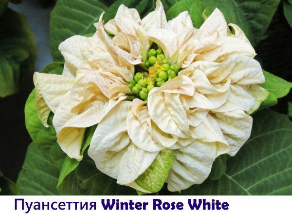 Пуансеттия Winter Rose White