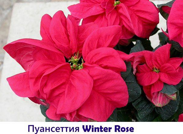 Пуансеттия Winter Rose