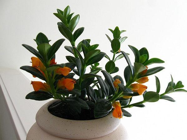 цветет молодой нематантус