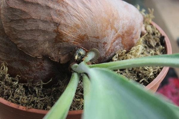 размножение платицериума