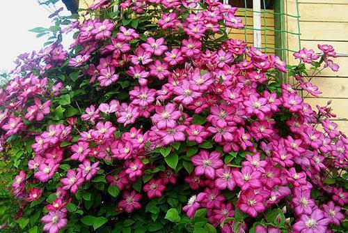 розовые цветы клематиса