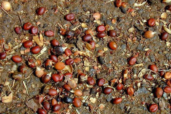 семена вашингтонии