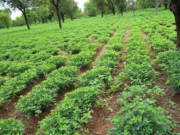 выращивание арахиса в Азии
