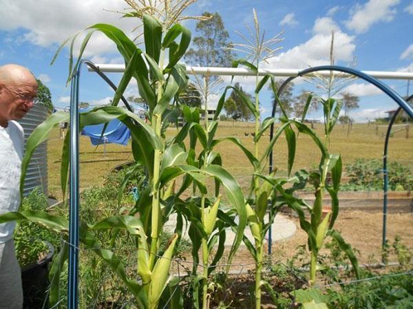 уход за кукурузой