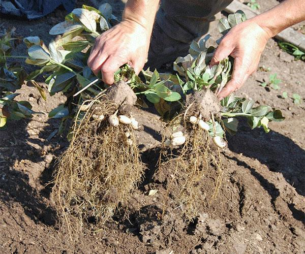 сбор урожая арахиса