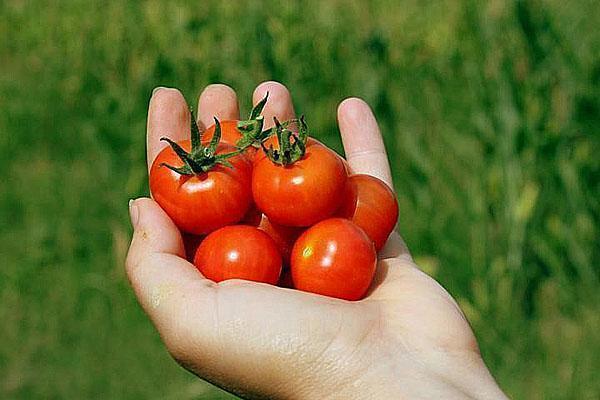 выращиваем своими руками помидоры черри