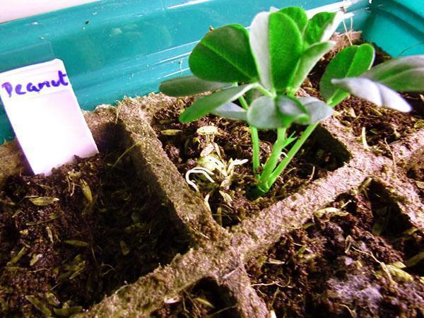Как посадить арахис в домашних условиях видео