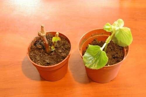 уход и выращивание клубневых бегоний в домашних условиях