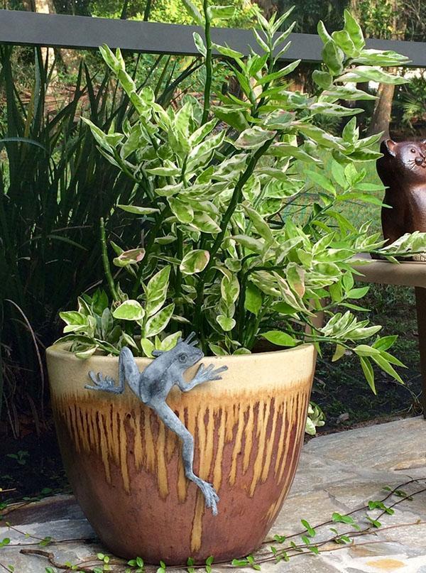 выращивание педилантуса дома